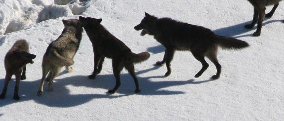 lobos, imagens, gratis, free